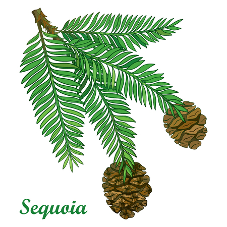 Branch with outline Sequoia or California redwood isolated on white background. Branch of coniferous tree with green pine and brown cones in contour style for botanical design. Illustration
