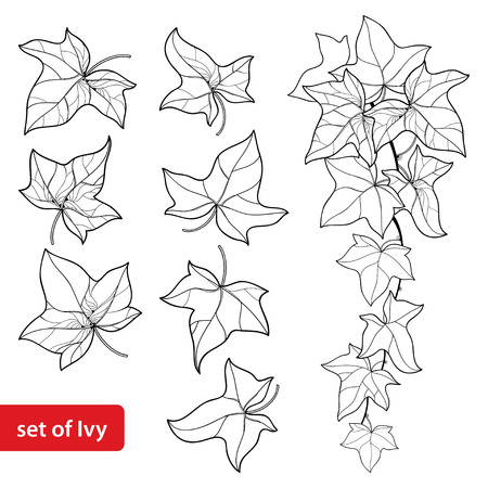 Set with outline Ivy or Hedera. Ornate leaf and Ivy vine in black isolated on white background. Evergreen perennial climbing plant in contour style for botanical design and coloring book. Illustration