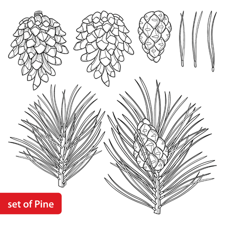 Set with outline Scots pine or Pinus sylvestris tree. Branch, pine and cones in black isolated on white background. Coniferous tree in contour style for botanical design and coloring book.