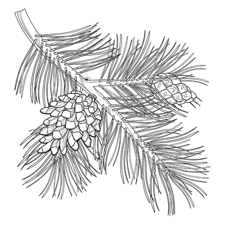 Branch of outline Scots pine or Pinus sylvestris tree. Bunch, pine and cones in black isolated on white background. Coniferous tree in contour style for botanical design and coloring book.