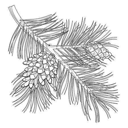 Zweig der Umrisse Kiefer oder Pinus sylvestris Baum. Bündel, Kiefer und Zapfen in schwarz isoliert auf weißem Hintergrund. Nadelbaum im Konturstil für botanisches Design und Malbuch. Standard-Bild - 85985331