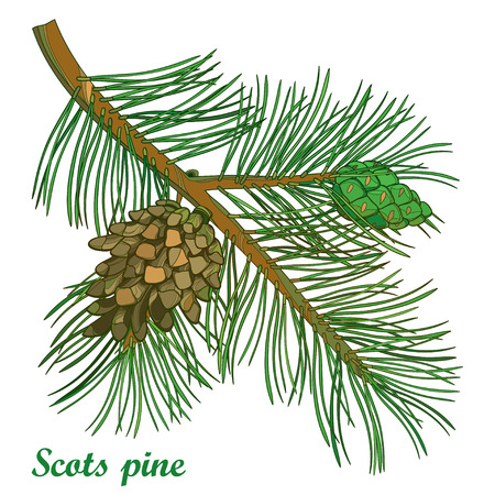 Branch of outline Scots pine or Pinus sylvestris tree. Bunch, pine and cones isolated on white background. Coniferous tree in contour style for Christmas or botanical design.