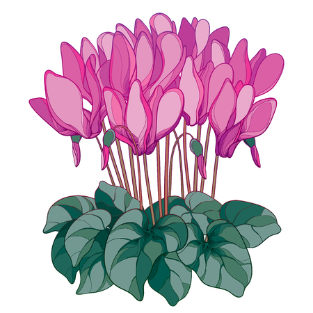 Bouquet with outline Cyclamen or Alpine violet flower in pink, bud and green foliage isolated on white background. Perennial Alpine mountain flower in contour style for spring design.