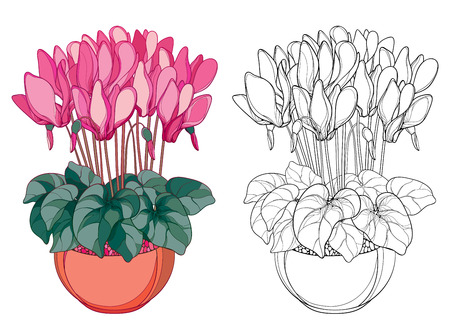 Bouquet with outline Cyclamen or Alpine violet in round pot. Flower, bud and leaf isolated on white background. Alpine mountain flower in contour style for spring design or coloring book. Ilustracja