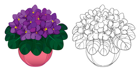 Bouquet with outline Saintpaulia or African violet flower in round pot. Purple flowers and foliage isolated on white background. Viola in contour style for floriculture design or coloring book.