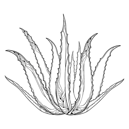 Drawing of outline Aloe vera.