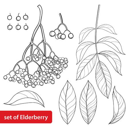 Set with outline Sambucus nigra or black elder or elderberry.