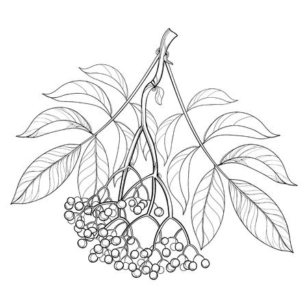 Branch with outline Sambucus nigra or black elder or elderberry. Çizim