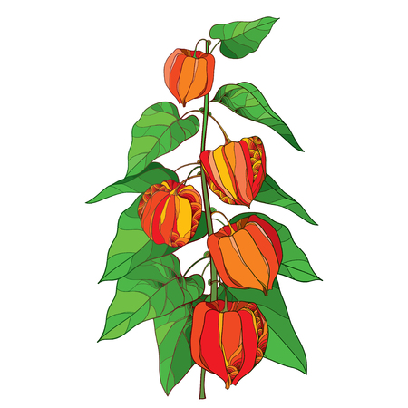 Branch with outline Physalis or Cape gooseberry or Ground cherry fruit, green leaf and orange berry isolated on white background. Ornate perennial plant in contour style for autumn design.