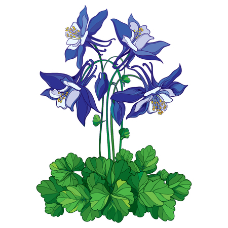 Bouquet with outline ornate Aquilegia or Columbine flower in blue, bud and green leaf isolated on white background. Perennial flower Columbine in contour style for summer design.