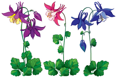Set with outline ornate Aquilegia or Columbine flower in pink, violet and blue, bud and leaf isolated on white background. Perennial flower Columbine in contour style for summer design.