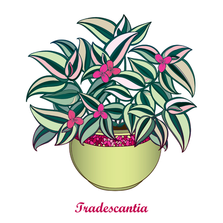 Bouquet with outline Tradescantia or Inch plant or Wandering Jew flower. Pink flower and striped green leaf isolated on white background. Potted houseplant in contour style for summer design.