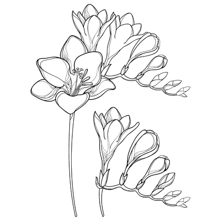 Bunch with outline Freesia flower and ornate bud in black isolated on white background. Perennial fragrant plant Freesia in contour style for summer design and coloring book.