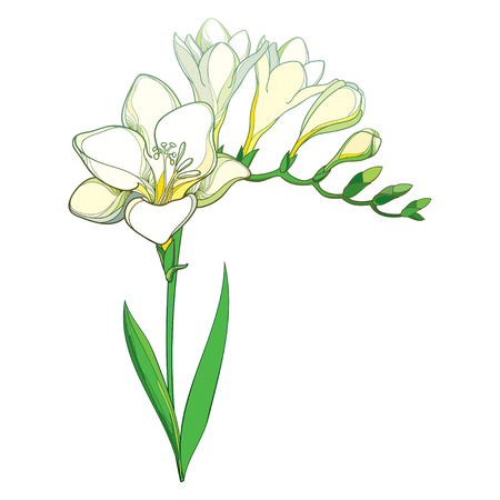 Outline white Freesia flower bunch with bud and green leaves isolated on white background. Perennial fragrant plant Freesia in contour style for summer design or greeting decor.