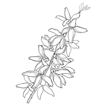 Branch with outline Forsythia flower bunch and leaves in black isolated on white background. Spring blossom of garden plant Forsythia in contour style for springtime design and coloring book. Illustration
