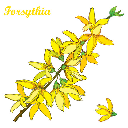 Branch with outline Forsythia flower bunch and leaves in yellow isolated on white background. Spring blossom of garden plant Forsythia in contour style for springtime design.