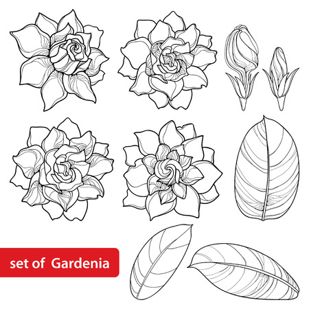 Set with outline Gardenia flower, ornate bud and leaves in black isolated on white background. Perennial tropical fragrant plant Gardenia in contour style for summer design and coloring book. Ilustração