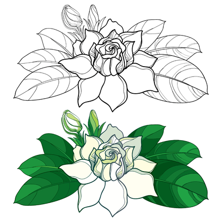 Outline Gardenia flower, bud and ornate leaves in black and pastel color isolated on white background. Tropical fragrant plant Gardenia in contour style for summer design and coloring book. Illustration