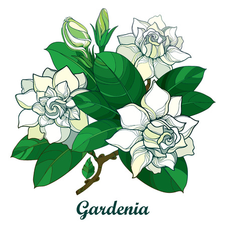 Outline Gardenia flower bouquet, bud and ornate green leaves isolated on white background. Branch with tropical fragrant plant. Illustration