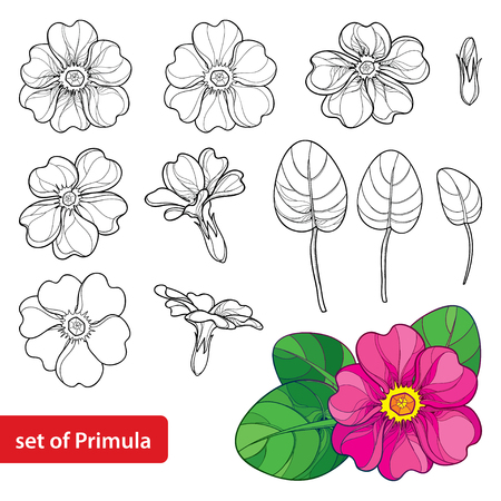 Set with outline Primula or Primrose flower, leaves and bud in black and pink isolated on white illustration.