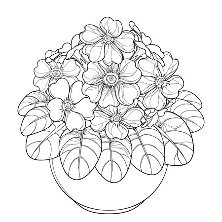 Bouquet with outline Primula or Primrose flower and leaves in flowerpot isolated on white background. Contour style blooming Primula in black for spring design and coloring book.
