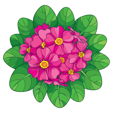 Bouquet with outline Primula or Primrose flower in pink and green foliage isolated on white background. Round composition with blooming Primula in contour style for spring design.