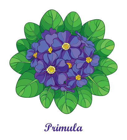 Bouquet with outline Primula or Primrose flower in violet and green foliage isolated on white background. Round composition with blooming Primula in contour style for spring design. Иллюстрация