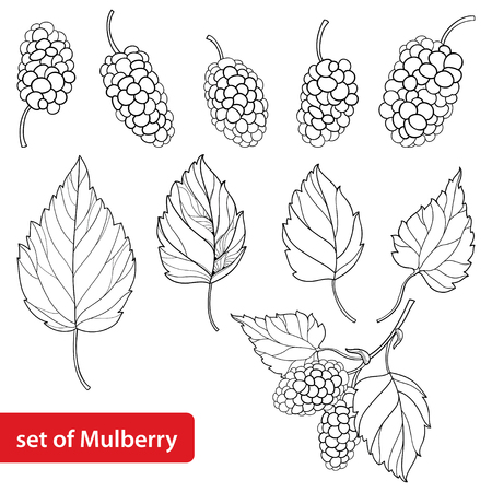 Set with outline Mulberry or Morus, bunch, ripe berry and leaves in black isolated on white background.