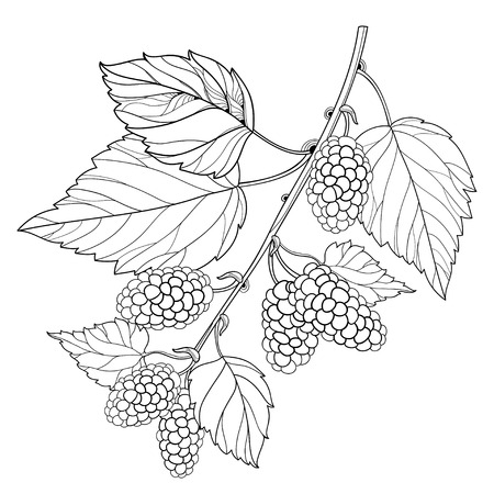 Branch with outline Mulberry or Morus with ripe berry and leaves in black isolated on white background.