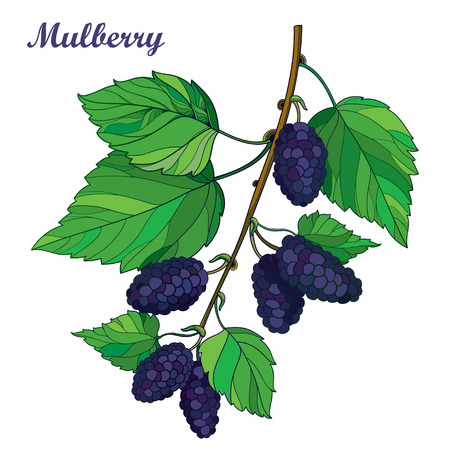 Branch with outline Mulberry or Morus with ripe black berry and green leaves isolated on white background. Çizim