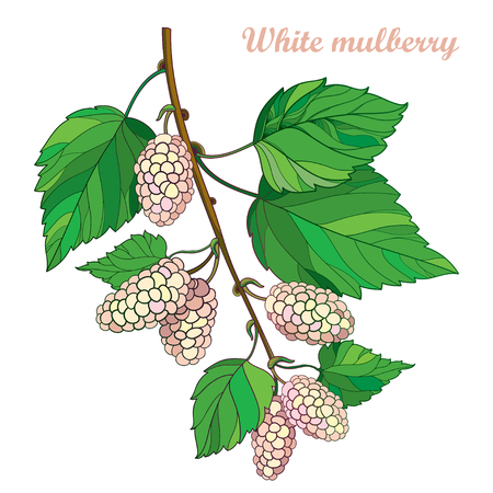 Branch with outline Mulberry or Morus with ripe white berry and green leaves isolated on white background.