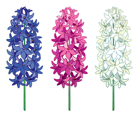 Set with outline Hyacinth flower bunch in blue, white and pink color isolated on white background. Fragrant bulbous plant in contour style for greeting spring design.