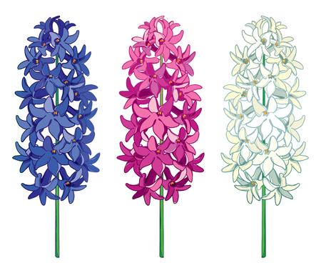 Set met overzicht Hyacint bloem bos in blauwe, witte en roze kleur geïsoleerd op een witte achtergrond. Geurige bolvormige plant in contourstijl voor het ontwerp van de lentegroet.