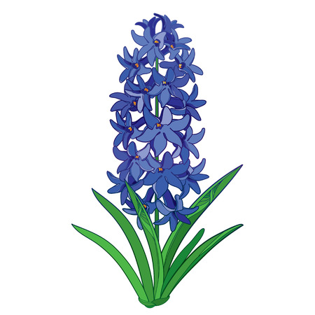 Bouquet with outline Hyacinth flower bunch in blue, bud and ornate green leaves isolated on white background. Fragrant bulbous plant in contour style for spring design.