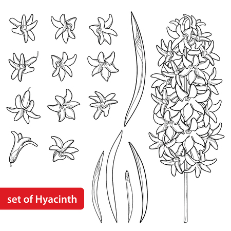 Set with outline Hyacinth flower bunch, bud and ornate leaves in black isolated on white background. Fragrant bulbous plant in contour style for spring design or coloring book.
