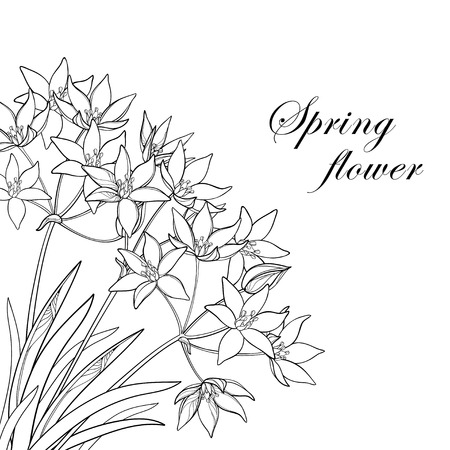 Corner bouquet with outline Ornithogalum or Star-of-Bethlehem flower bunch, bud and leaf in black isolated on white background. Perennial plant in contour for spring design or coloring book.