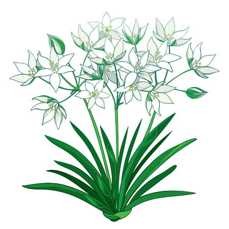 Bouquet with outline Ornithogalum or Star-of-Bethlehem flower bunch in pastel, bud and green foliage in isolated on white background. Perennial bulbous plant in contour for spring design.
