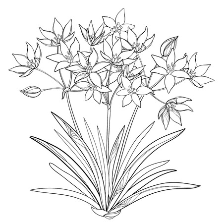Bouquet with outline Ornithogalum or Star-of-Bethlehem flower bunch, bud and leaf in black isolated on white background. 矢量图像