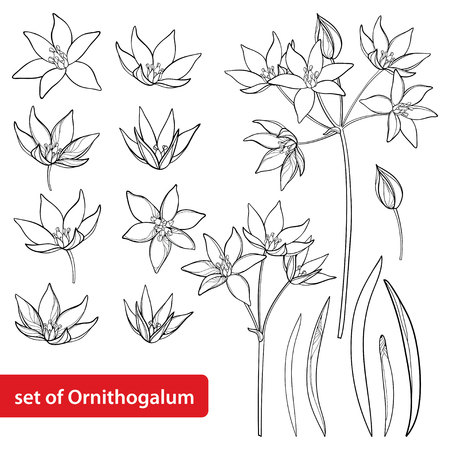 Set with outline Ornithogalum or Star-of-Bethlehem flower bunch, bud and leaves in black isolated on white background. Perennial bulbous plant in contour for spring design or coloring book.