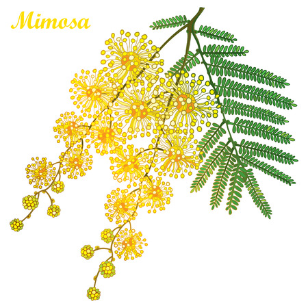 Branch of outline Mimosa or Acacia dealbata or silver wattle yellow flower, bud and green leaves isolated on white background. Blossoming bunch of Mimosa in contour style for spring design.