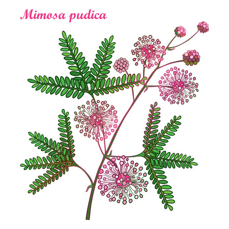 Branch of outline Mimosa pudica or sensitive plant or touch-me-not plant. Pink flower, bud and green leaf isolated on white background. Mimosa bunch in contour for spring design.