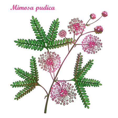 Tak van overzicht Mimosa pudica of gevoelige plant of touch-me-not plant. Roze bloem, knop en groen blad geïsoleerd op een witte achtergrond. Mimosa bos in contour voor lente ontwerp. Vector Illustratie