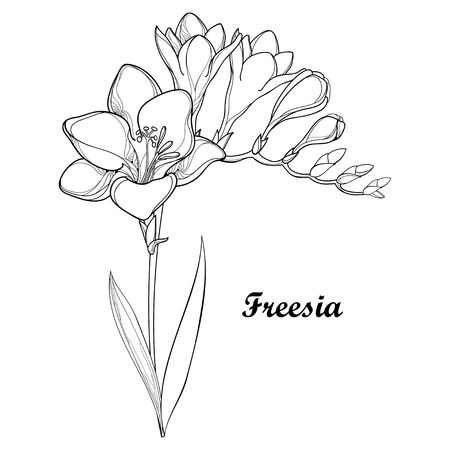 Bunch with outline Freesia flower, bud and ornate leaf in black isolated on white background. Perennial fragrant plant Freesia in contour style for summer design and coloring book.