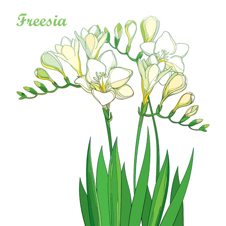 Outline pastel white Freesia flower bunch with bud and green leaves isolated on white background. Perennial fragrant plant Freesia in contour style for summer design or greeting decor.