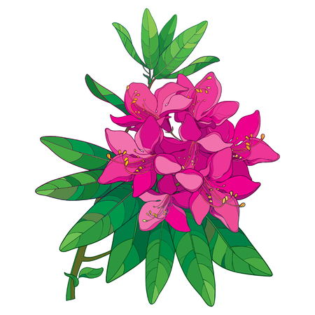 Branch with outline pink Rhododendron or Alpine rose flower isolated on white background. Bunch with evergreen mountain flowers and leaves in contour style for summer design.