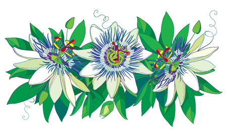 Horizontal garland with outline tropical blue Passiflora or Passion flowers, bud, leaves and tendril isolated on white background. Ornate floral in contour style for exotic summer design.