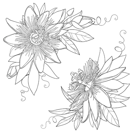 Bunch with outline tropical Passiflora or Passion flower. Exotic ornate flowers, bud and leaf in black isolated on white background. Contour style flora for summer design and coloring book. Illustration
