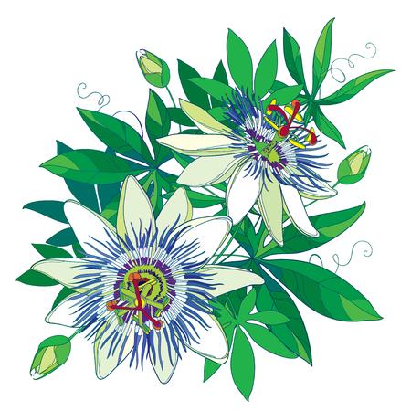 Bouquet de passiflore bleu tropical ou fleur de la passion. Décrire les fleurs exotiques, bourgeon et feuille isolé sur fond blanc. Composition avec des éléments floraux dans le style de contour pour la conception de l'été.