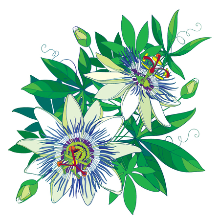 Bouquet of tropical blue Passiflora or Passion flower. Outline exotic flowers, bud and leaf isolated on white background. Composition with floral elements in contour style for summer design.
