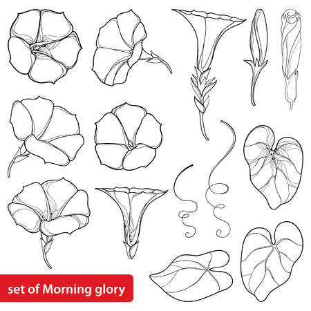 Set with outline Ipomoea or Morning glory flower, leaves and bud in black isolated on white background. Perennial climbing plant in contour style for summer design and coloring book.
